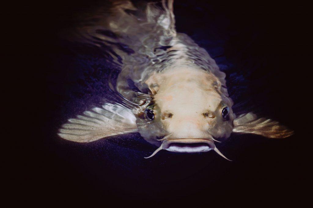 Tummassa vedessä ui kissakala.
